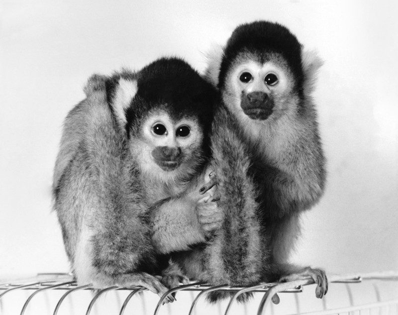 Monkeys Chico and Beano
