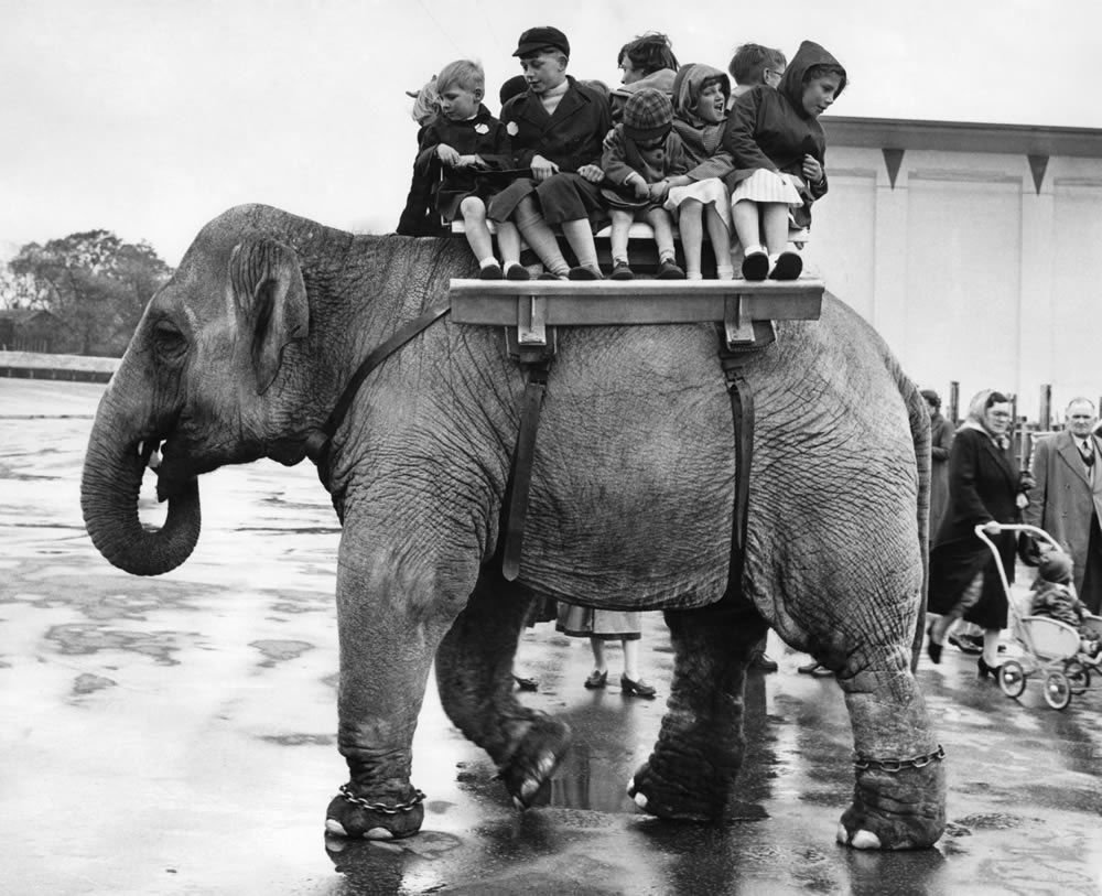 Elephant rides at Belle Vue Zoo