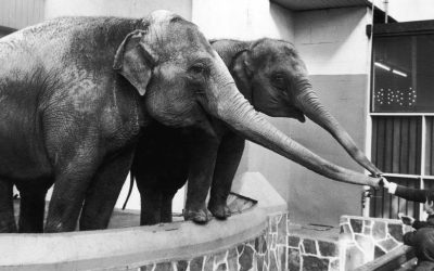 This Week – Elephants' Feeding Time at Belle Vue…