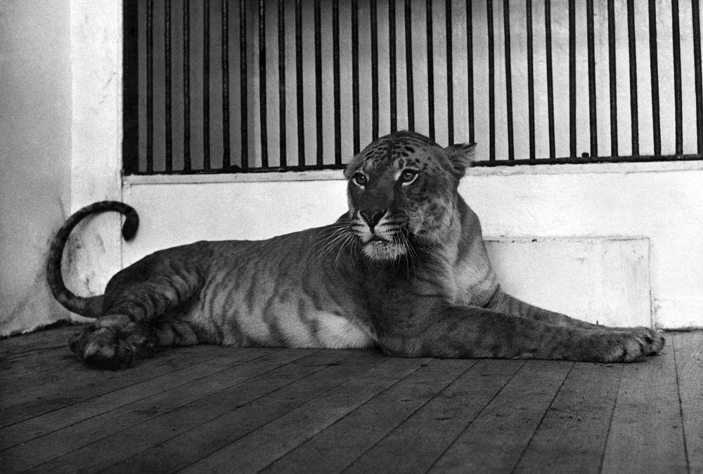 Maude the Tigon arrives at Belle Vue Zoo…