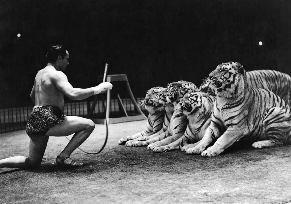 Gilbert Honch and his tigers at the Belle Vue circus, January 1947