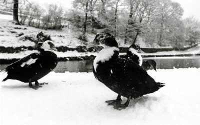 Geese suffer severe winter of '78-9 over Saddleworth
